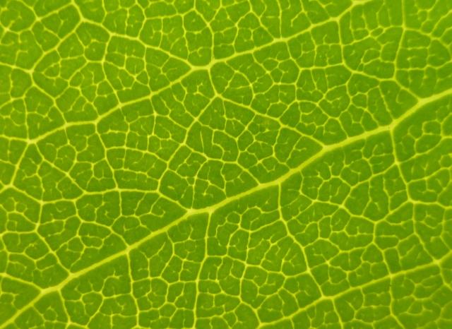 Leaf Veins8