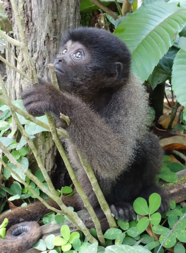 Baby Wolly MonkeyPeru