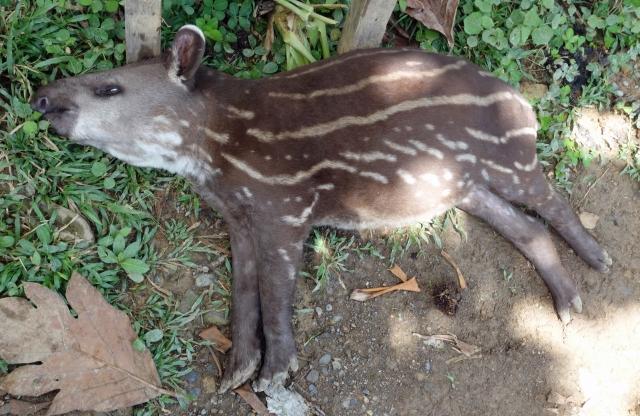 Baby Tapir2_edited-1