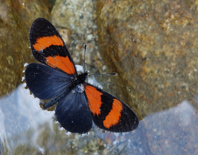 Butterfly in water San Pedro Peru