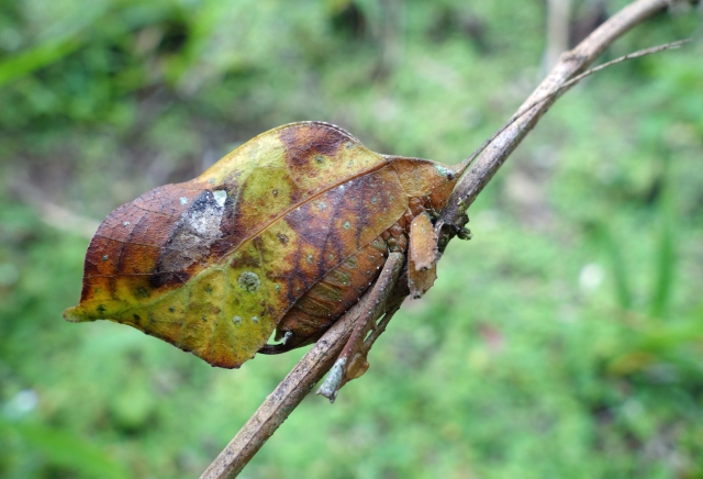 Dry Leaf Insect Peru