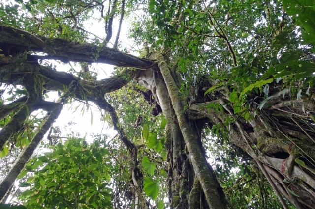 Big Tree SP Peru
