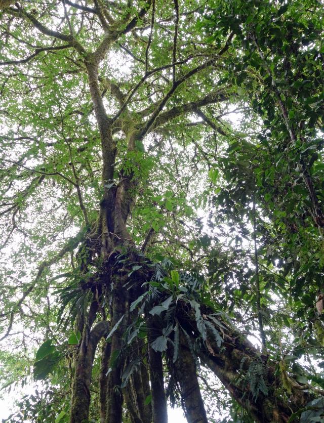 Big Tree SP Peru2