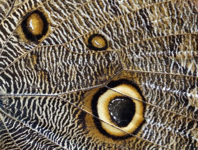 Butterfly Wing Peru