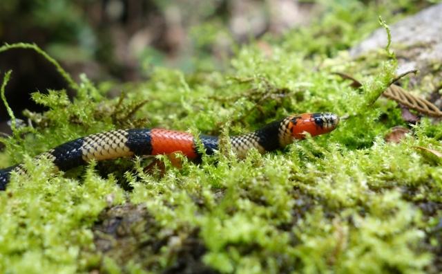 Coral Snake Peru4