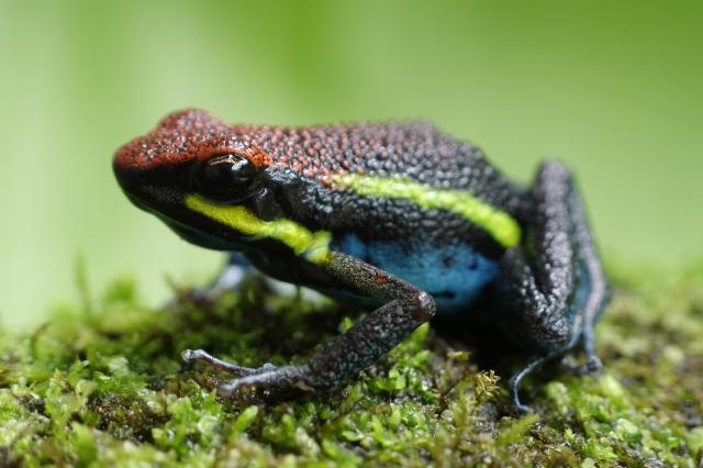 Dart Frog Peru