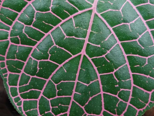 DMT Leaf Peru