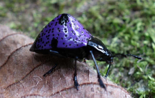 Purple Humpback Beetle Peru2