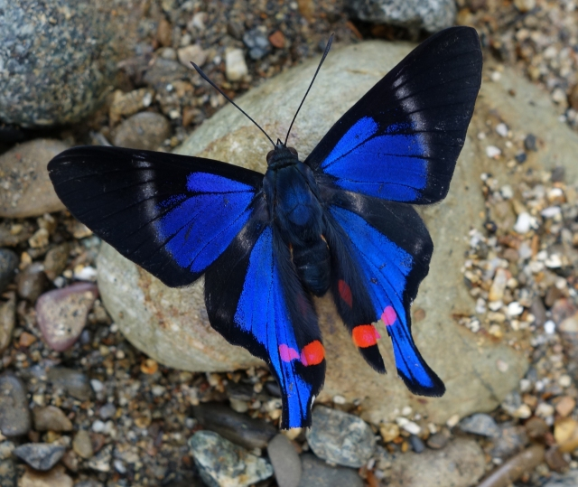 Blue Red Butterfly Amalia2 Peru_edited-1