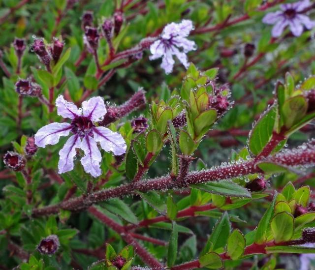 Flowers MP Peru51